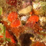 cromodoride pois rossi 120 150x150 Felimida elegantula, Chromodoris elegantula   Cromodoride a pois rossi