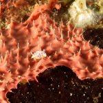 cromodoride pois rossi 121 150x150 Felimida elegantula, Chromodoris elegantula   Cromodoride a pois rossi