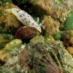 cromodoride pois rossi 14 150x150 Felimida elegantula, Chromodoris elegantula   Cromodoride a pois rossi