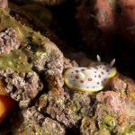 cromodoride pois rossi 54 150x150 Felimida elegantula, Chromodoris elegantula   Cromodoride a pois rossi
