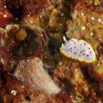 cromodoride pois rossi 83 150x150 Felimida elegantula, Chromodoris elegantula   Cromodoride a pois rossi