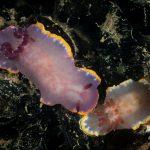 cromodoride porpora 61 150x150 Felimida purpurea Chromodoris purpurea   Cromodoride porpora