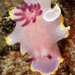 cromodoride porpora 62 150x150 Felimida purpurea Chromodoris purpurea   Cromodoride porpora
