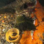 dendrodoride orlato 89 150x150 Dendrodoris limbata   Dendrodoride orlato