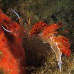 dondice 44 150x150 Dondice banyulensis   Dondice