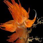 dondice 49 150x150 Dondice banyulensis   Dondice