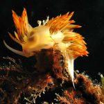 dondice 69 150x150 Dondice banyulensis   Dondice