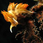 dondice 70 150x150 Dondice banyulensis   Dondice