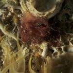 doride castano 23 150x150 Goniodoris castanea   Doride castano