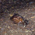 doride castano 25 150x150 Goniodoris castanea   Doride castano