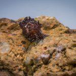doride castano 32 150x150 Goniodoris castanea   Doride castano