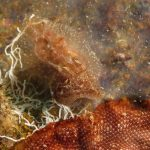 doride castano 54 150x150 Goniodoris castanea   Doride castano
