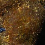 doride di orsini03 150x150 Felimare orsinii,Hypselodoris orsinii, Doride di orsini