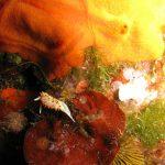 doride papille rosse 04 150x150 Diaphorodoris papillata   Doride papille rosse
