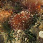 doride stellato 23 150x150 Discodoris stellifera, Doride stellato