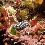 doride tricolore 10 150x150 Felimare tricolor, Felimare midatlantica, Hipselodoris tricolor   Doride tricolore