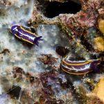 doride tricolore 12 150x150 Felimare tricolor, Felimare midatlantica, Hipselodoris tricolor   Doride tricolore