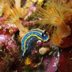 doride tricolore 16 150x150 Felimare tricolor, Felimare midatlantica, Hipselodoris tricolor   Doride tricolore
