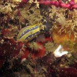 doride tricolore 17 150x150 Felimare tricolor, Felimare midatlantica, Hipselodoris tricolor   Doride tricolore