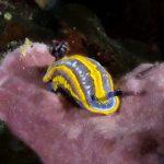 doride tricolore 20 150x150 Felimare tricolor, Felimare midatlantica, Hipselodoris tricolor   Doride tricolore