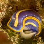 doride tricolore 37 150x150 Felimare tricolor, Felimare midatlantica, Hipselodoris tricolor   Doride tricolore