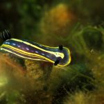 doride tricolore 56 150x150 Felimare tricolor, Felimare midatlantica, Hipselodoris tricolor   Doride tricolore