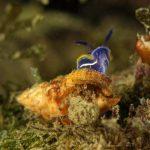 doride tricolore 60 150x150 Felimare tricolor, Felimare midatlantica, Hipselodoris tricolor   Doride tricolore