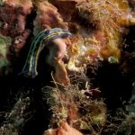 doride tricolore 76 150x150 Felimare tricolor, Felimare midatlantica, Hipselodoris tricolor   Doride tricolore