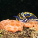 doride tricolore 93 150x150 Felimare tricolor, Felimare midatlantica, Hipselodoris tricolor   Doride tricolore
