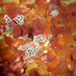 doride vacchetta 07 150x150 Peltodoris atromaculata, Discodoris atromaculata   Doride vacchetta di mare