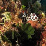doride vacchetta 105 150x150 Peltodoris atromaculata, Discodoris atromaculata   Doride vacchetta di mare