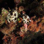 doride vacchetta 108 150x150 Peltodoris atromaculata, Discodoris atromaculata   Doride vacchetta di mare