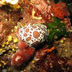 doride vacchetta 17 150x150 Peltodoris atromaculata, Discodoris atromaculata   Doride vacchetta di mare