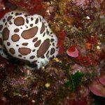doride vacchetta 34 150x150 Peltodoris atromaculata, Discodoris atromaculata   Doride vacchetta di mare