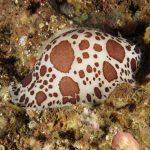 doride vacchetta 55 150x150 Peltodoris atromaculata, Discodoris atromaculata   Doride vacchetta di mare