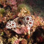 doride vacchetta 84 150x150 Peltodoris atromaculata, Discodoris atromaculata   Doride vacchetta di mare