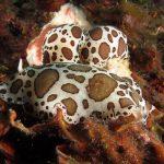 doride vacchetta di mare 69 150x150 Peltodoris atromaculata, Discodoris atromaculata   Doride vacchetta di mare