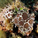 doride vacchetta di mare 70 150x150 Peltodoris atromaculata, Discodoris atromaculata   Doride vacchetta di mare