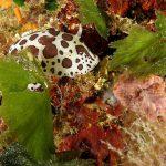 doride vacchetta di mare 77 150x150 Peltodoris atromaculata, Discodoris atromaculata   Doride vacchetta di mare