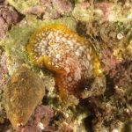 doriopsilla 64 150x150 Doriopsilla areolata areolata, Doriopsilla rarispinosa, Doriopsilla evenae, Doriopsilla pusilla  Doride doriopsilla