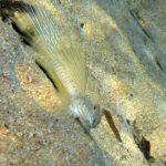 dragoncello azzurro 06 150x150 Pesce dragoncello turchese