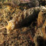 eolidiella 11 150x150 Aeolidiella alderi   Eolidiella