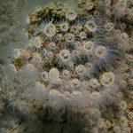 epizoanto arenaceo 45 150x150 Madrepora sabbiosa, epizoanto