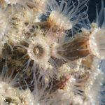 epizoanto arenaceo 51 150x150 Madrepora sabbiosa, epizoanto