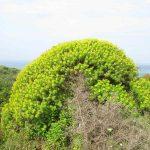 euforbia-arborescente-02