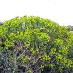 euforbia arborescente 10 150x150 Euforbia arborescente