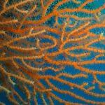 eunicella cavolini 22 150x150 Eunicella cavolinii   Eunicella cavolini