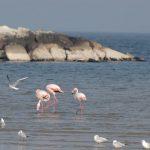 fenicottero rosa 09 150x150 Phoenicopterus ruber   Fenicottero rosa