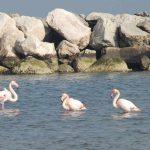 fenicottero rosa 12 150x150 Phoenicopterus ruber   Fenicottero rosa