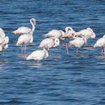 fenicottero rosa 34 150x150 Phoenicopterus ruber   Fenicottero rosa